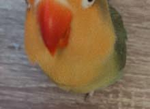 طائر الفشير من طيور الحب ذكر وانثى