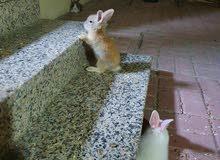 ثلاث أرانب فرنسية مع القفص و الطعام