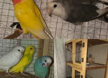 للبيع مجموعه طيور
