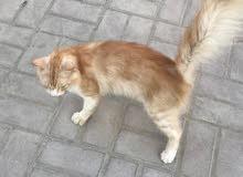 قط هملايا شيرازي للبيع
