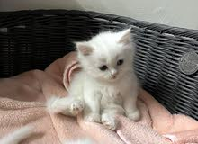 pets for sell