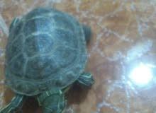 لهواة السلاحف سلحفاة برمائية متوسطة الحجم ، رأس مثلثة ،عنق طويلة ، خطوط صفراء