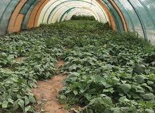 مزرعة للبيع فيها اشجار مثمرة و بيوت خضراء بسعر لقطة في الذيد مساحة 12 الف قدم