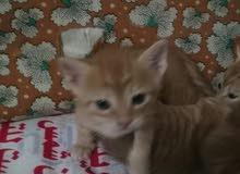 قطط من فصيله النمر