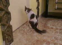 قطة للبيع للبدل