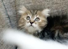 قطط شيرازي صغار حلوين