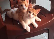 قطط عدد 2 للتبني خلقو بل بيت عندي ونضاف كتير وزكايه وما ضاهرين برات البيت