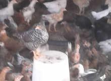دجاج عمانيات