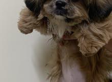 كلب شيتزو انثى العمر 4 شهور