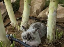 مطلوب تزاوج قطط