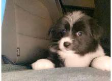 cute dog for sale , مالتيز للبيع عمره شهر