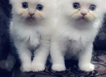 قطط ذكور بعمر الشهر ونصف شيرازي مكس