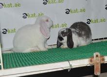 زوج أرانب لوب