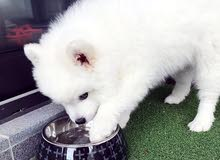 Pure Breed Pomeranian Puppy Available