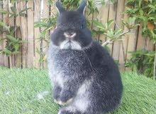 ارانب عربيات