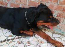 كلب روت فيلر