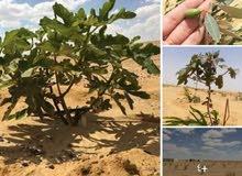مزرعة للبيع 30 فدان مزروعة زيتون قابلة للتجزئة