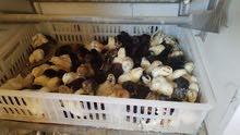 للبيع صيصان دجاج عماني
