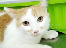 للبيع قطة شيرازي امريكي