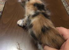 قطه عمره 3 اشهر