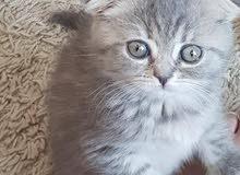 04/2018 (تبقى القليل )قطط برتش سكوتش فولد للبيع