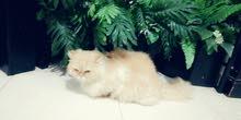 قطة شرازيه بيور