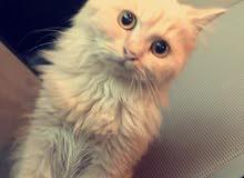 قطة بيرشن شيرازي وقطة هماليا