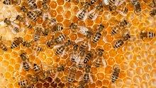 عسل حبة البركة  حر طبيعي