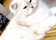 قطط شانشيلا اقره الوصف
