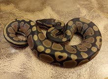 This is ball python baby. It's fancy and rare