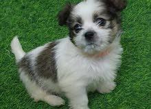 كلب صغير العمر 3 شهور