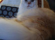 Mail Cat Himalaya and Persian
