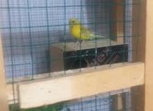 طيور الحب البيع 3 زوج مع القفص مع البيوت