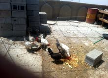 دجاج عرب نظيف وصاحي وتربيته على ايدي من جانن كتاكيت