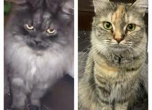 للبيع قطتين