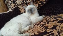 قطة سيامبة ذكبة و نظيفة انثى