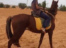 حصان ولد السكب