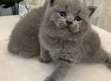 PURE BRITISH SHORTHAIR FOR SALE
