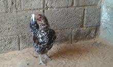 4 دجاجات عربيات و2 فراريج للبيع