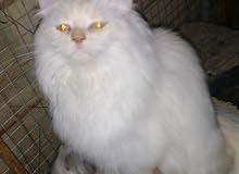 قطط شرازيه لبيع