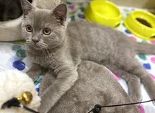 قطة من فصيلة British Shorthair