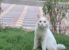 قط العمر سنه شيرازي حجم كبير