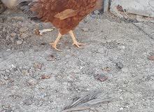 دجاج للبيع بياض