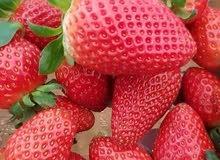 فراولة مجمده