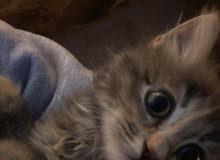 قطة شانشيلا مكس بلدي للبيع