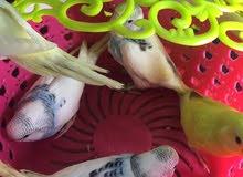 طيور حب الوان حلوه