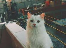 قطه شيرازي رومي