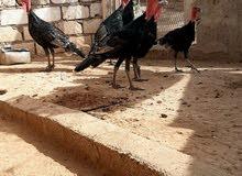 مطلوب مطلوب دجاج رومي الذكور لا.... أقر الإعلان زين  بالله