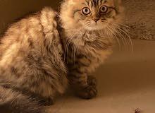 قط شيرازي بيور العمر 5 شهور أليف ولعوب