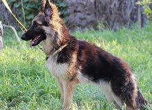 german shepherd female for sale